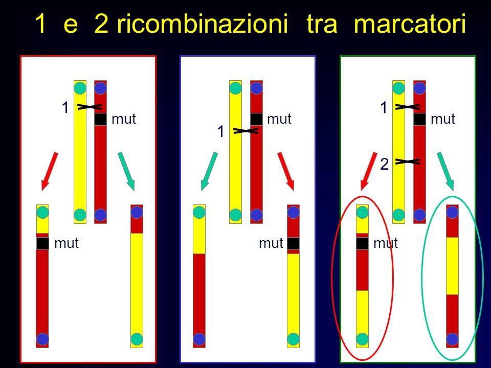 1 e 2 ricombinazioni tra marcatori mut 1 1 1 2
