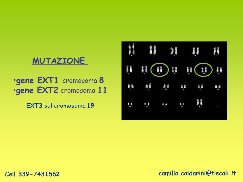 MUTAZIONE gene EXT1 cromosoma 8 gene EXT2 cromosoma 11 EXT3 sul cromosoma 19 camilla.caldarini@tiscali.it Cell.339-7431562