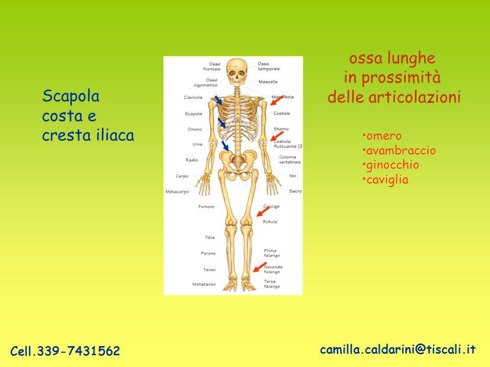 ossa lunghe in prossimità delle articolazioni Scapola costa e cresta iliaca omero avambraccio ginocchio caviglia camilla.caldarini@tiscali.it Cell.339