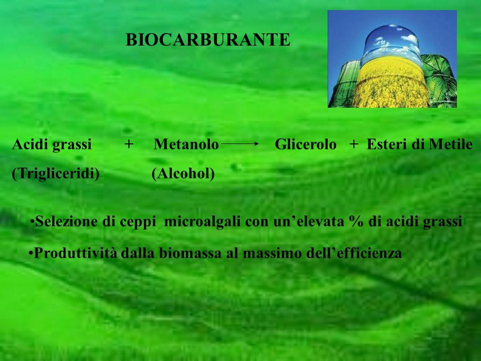 Acidi grassi + Metanolo Glicerolo + Esteri di Metile (Trigliceridi) (Alcohol) BIOCARBURANTE Selezione di ceppi microalgali con unelevata % di acidi gr