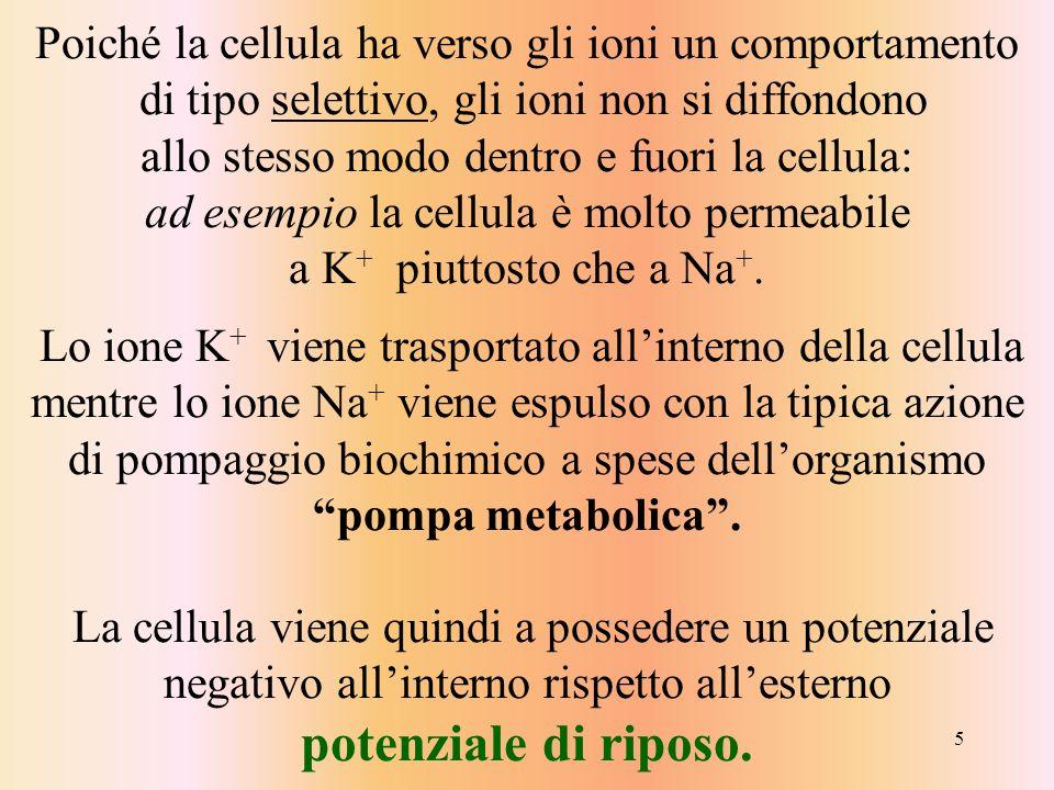 5 Poiché la cellula ha verso gli ioni un comportamento di tipo selettivo, gli ioni non si diffondono allo stesso modo dentro e fuori la cellula: ad es