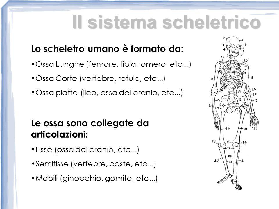 Il sistema scheletrico Lo scheletro umano è formato da: Ossa Lunghe (femore, tibia, omero, etc...) Ossa Corte (vertebre, rotula, etc...) Ossa piatte (ileo, ossa del cranio, etc...) Le ossa sono collegate da articolazioni: Fisse (ossa del cranio, etc...) Semifisse (vertebre, coste, etc...) Mobili (ginocchio, gomito, etc...)