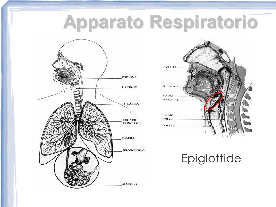 Apparato Respiratorio Epiglottide