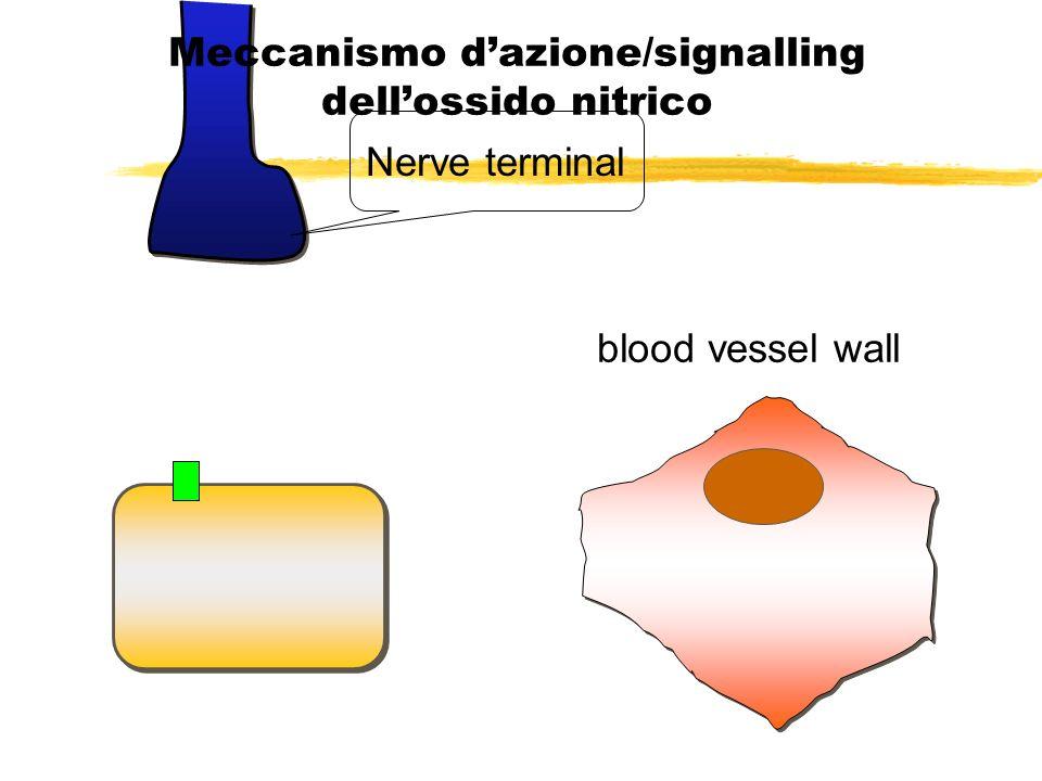 Stimulated nerve releases acetylcholine Meccanismo dazione/signalling dellossido nitrico