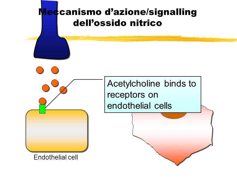 Activate NO synthase Meccanismo dazione/signalling dellossido nitrico