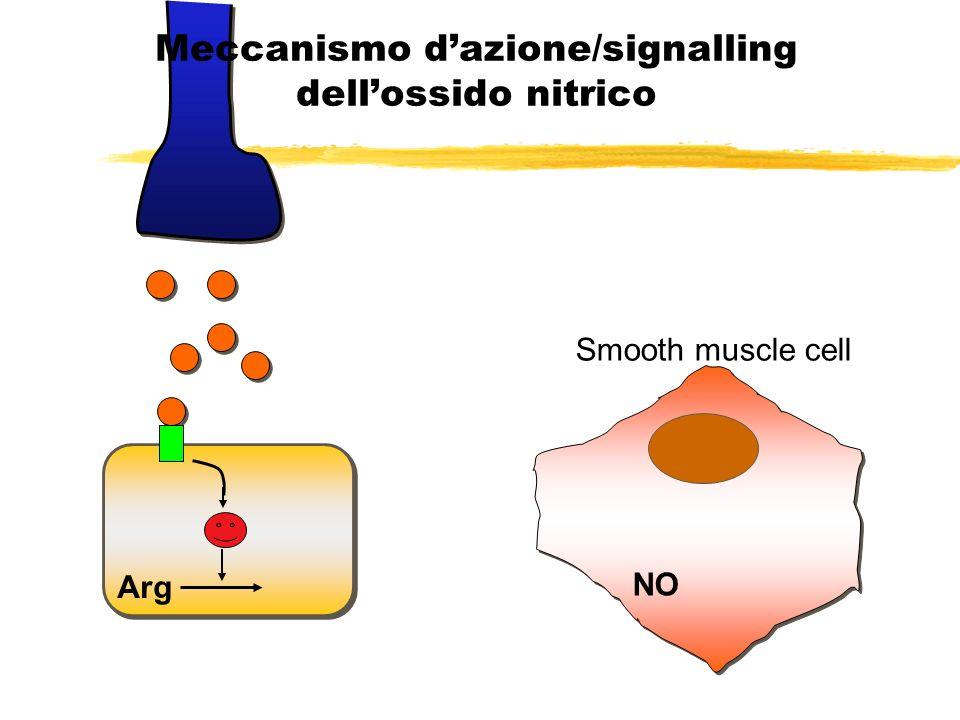 Arg NO NO binds to guanylyl cyclase Meccanismo dazione/signalling dellossido nitrico