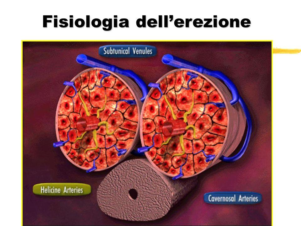 Fisiologia erezione zStrozzatura delle vene subtunicali emissarie (meccanismo veno-occlusivo) zErezione persistente – coito