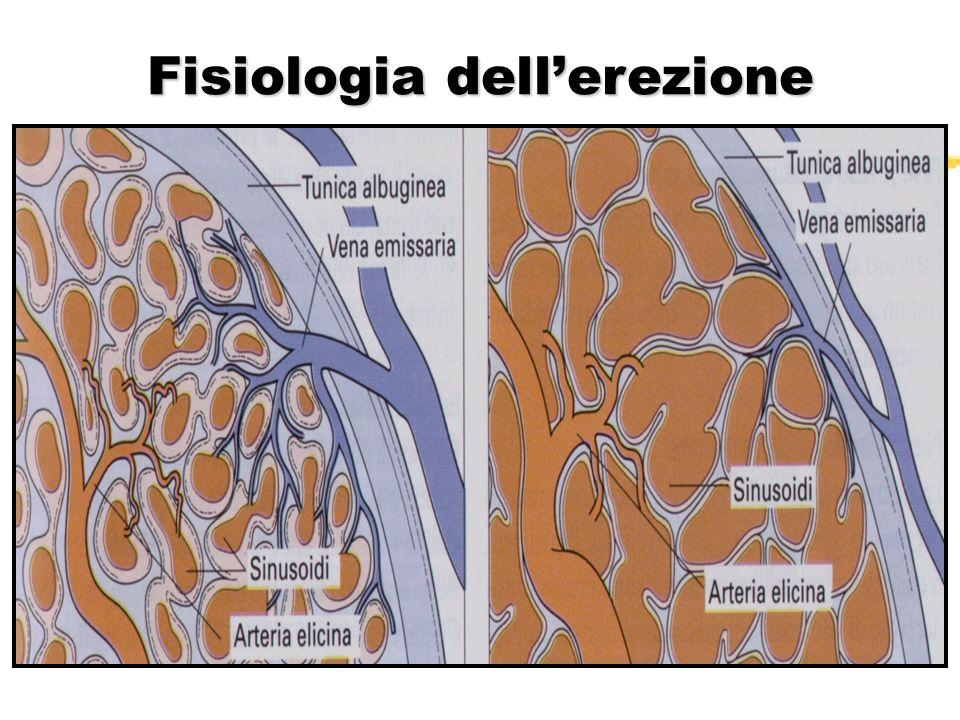 Fisiologia erezione zEjaculazione zScarica adrenergica zSpasmo sfinteri arteriolari zRiduzione afflusso arterioso zApertura vene emissarie zDetumescenza zFlaccidità
