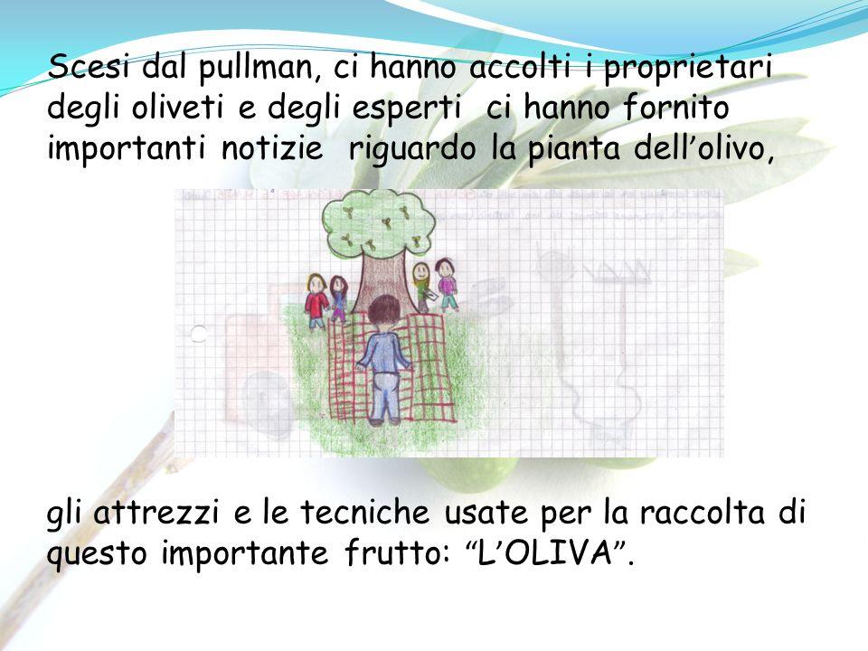 Scesi dal pullman, ci hanno accolti i proprietari degli oliveti e degli esperti ci hanno fornito importanti notizie riguardo la pianta dell olivo, gli