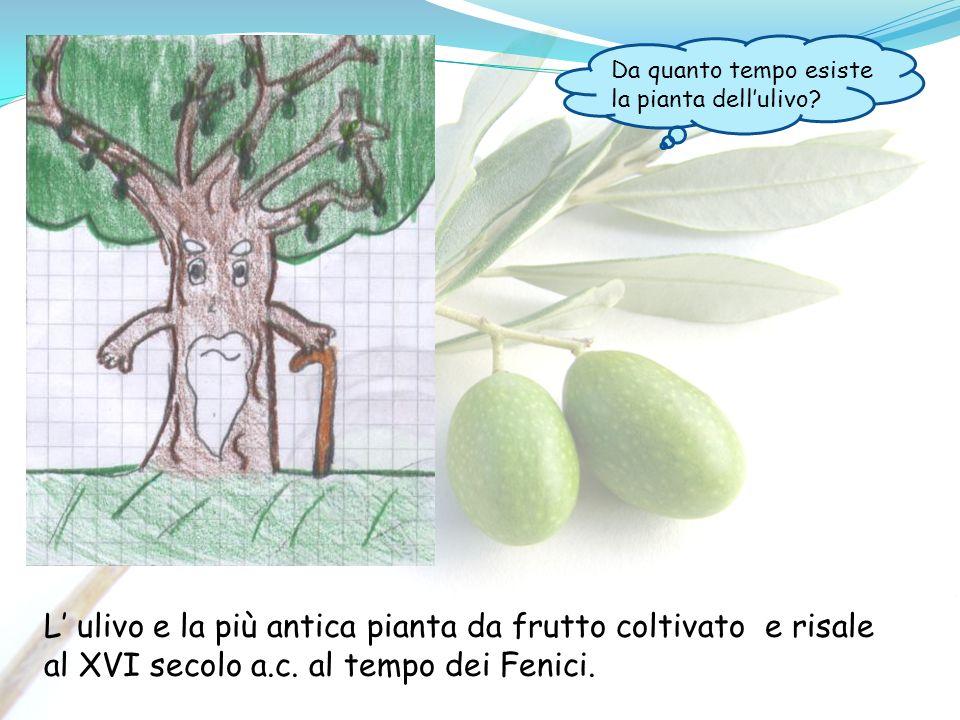L ulivo e la più antica pianta da frutto coltivato e risale al XVI secolo a.c. al tempo dei Fenici. Da quanto tempo esiste la pianta dellulivo?