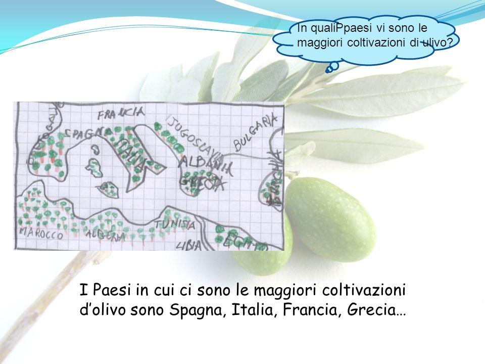 I Paesi in cui ci sono le maggiori coltivazioni dolivo sono Spagna, Italia, Francia, Grecia… In qualiPpaesi vi sono le maggiori coltivazioni di ulivo?