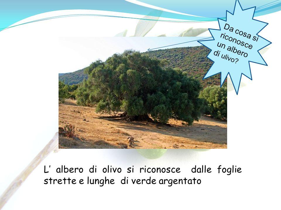 Da cosa si riconosce un albero di ulivo? L albero di olivo si riconosce dalle foglie strette e lunghe di verde argentato
