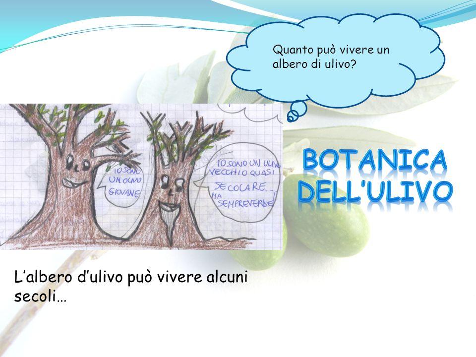Quanto può vivere un albero di ulivo? Lalbero dulivo può vivere alcuni secoli…