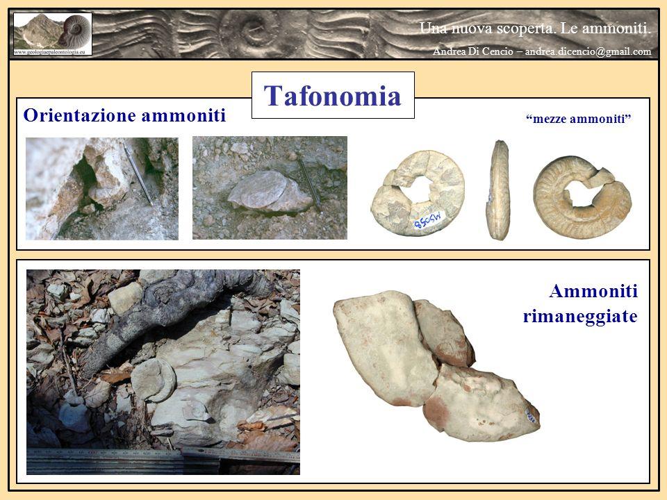 Ammoniti rimaneggiate Orientazione ammoniti mezze ammoniti Una nuova scoperta. Le ammoniti. Andrea Di Cencio – andrea.dicencio@gmail.com Tafonomia