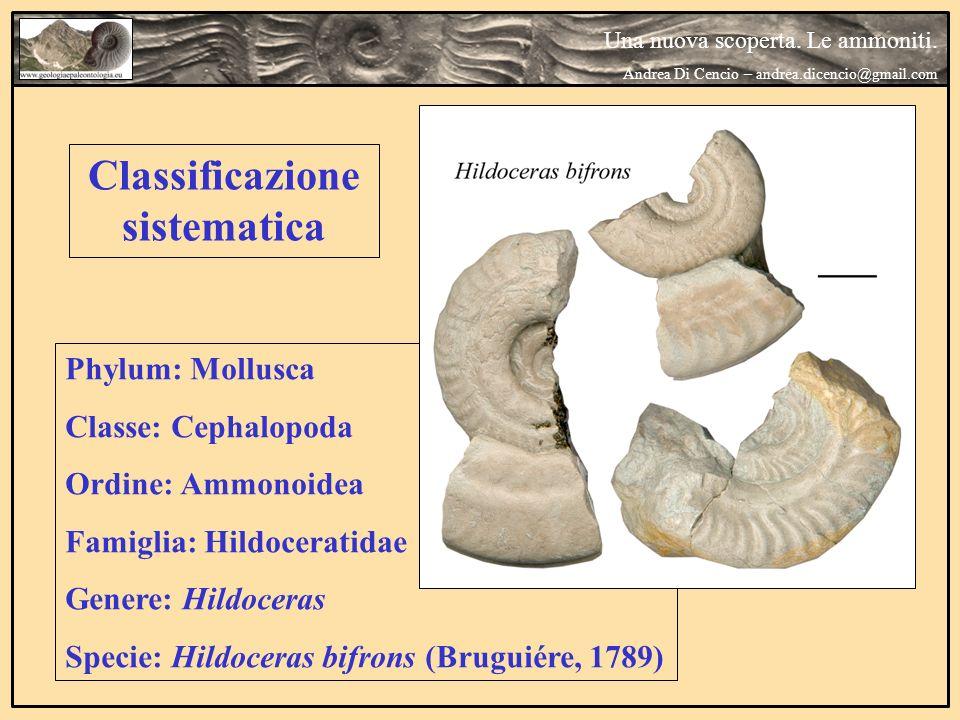 Classificazione sistematica Phylum: Mollusca Classe: Cephalopoda Ordine: Ammonoidea Famiglia: Hildoceratidae Genere: Hildoceras Specie: Hildoceras bif