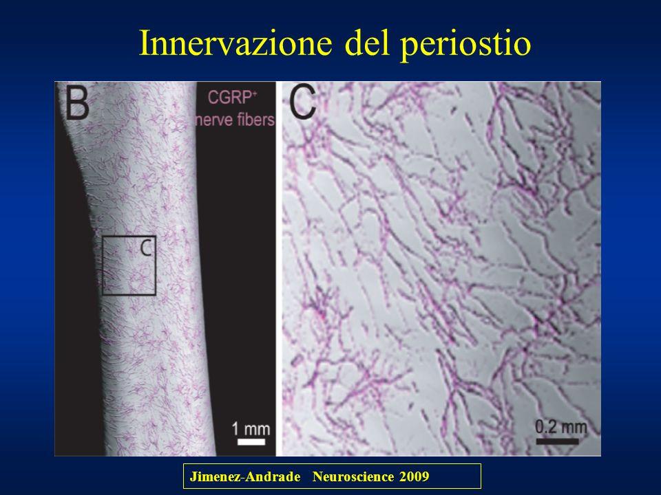 Innervazione del periostio Jimenez-Andrade Neuroscience 2009
