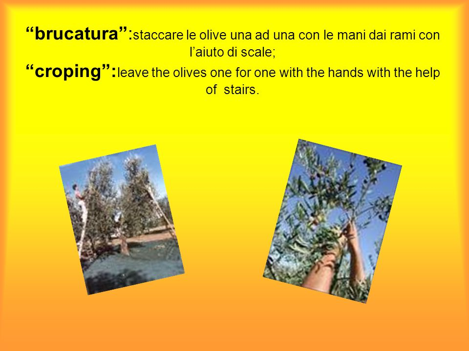 abbacchiatura: raccogliere le olive battendo le piante con pertiche ; downhearting : harvest the olives hitting the plants with perches;
