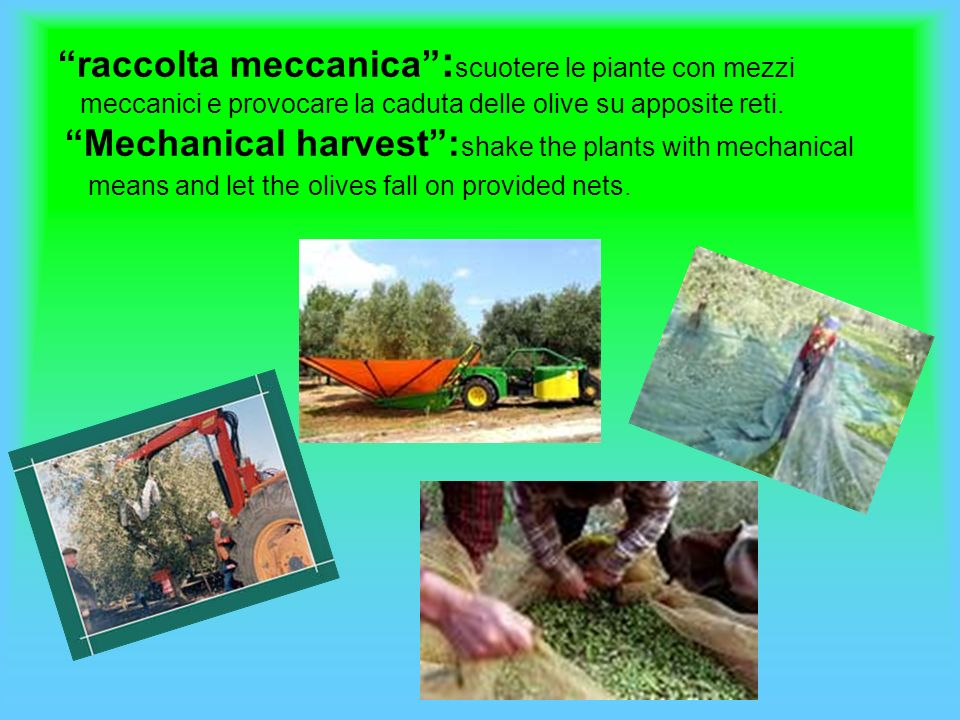 raccattatura: raccogliere le olive cadute a terra ; picking up: harvest the fallen olives on the ground.