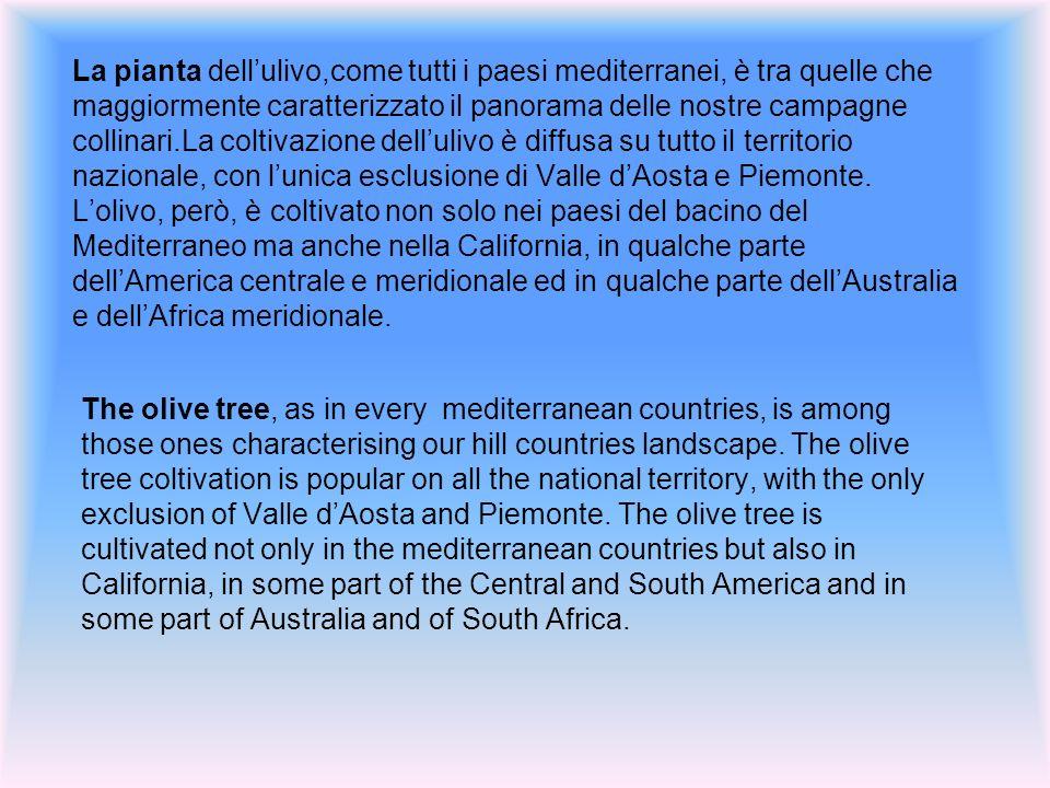 La pianta dellulivo,come tutti i paesi mediterranei, è tra quelle che maggiormente caratterizzato il panorama delle nostre campagne collinari.La coltivazione dellulivo è diffusa su tutto il territorio nazionale, con lunica esclusione di Valle dAosta e Piemonte.