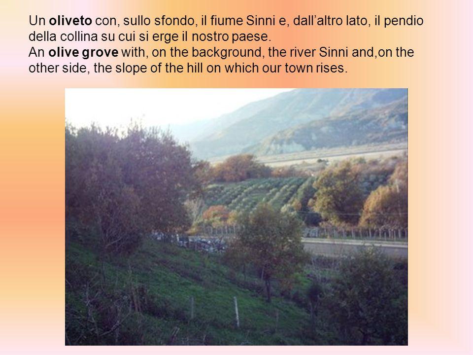 Un oliveto con, sullo sfondo, il fiume Sinni e, dallaltro lato, il pendio della collina su cui si erge il nostro paese.