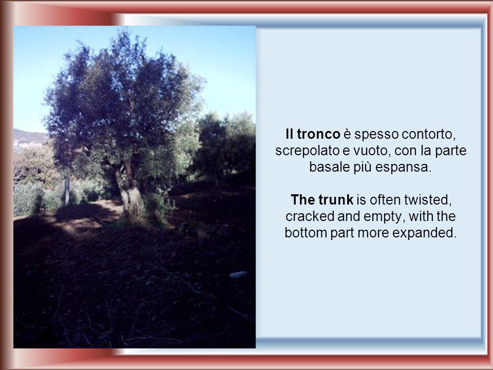 Lolivo è una pianta sempreverde dei climi temperati che può raggiungere anche i 20 metri di altezza.
