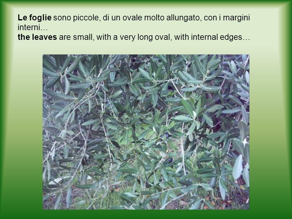 Le foglie sono piccole, di un ovale molto allungato, con i margini interni… the leaves are small, with a very long oval, with internal edges…