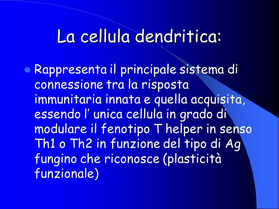 Rappresenta il principale sistema di connessione tra la risposta immunitaria innata e quella acquisita, essendo l unica cellula in grado di modulare i