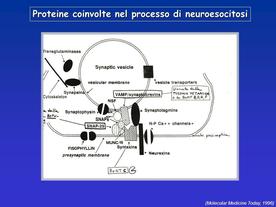 Proteine coinvolte nel processo di neuroesocitosi (Molecular Medicine Today, 1996)