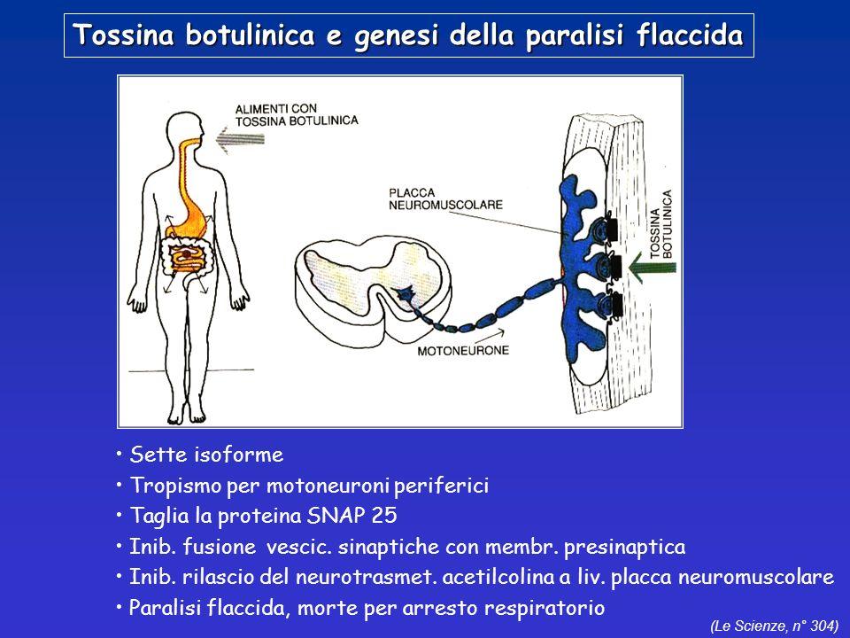 (Le Scienze, n° 304) Tossina botulinica e genesi della paralisi flaccida Sette isoforme Tropismo per motoneuroni periferici Taglia la proteina SNAP 25