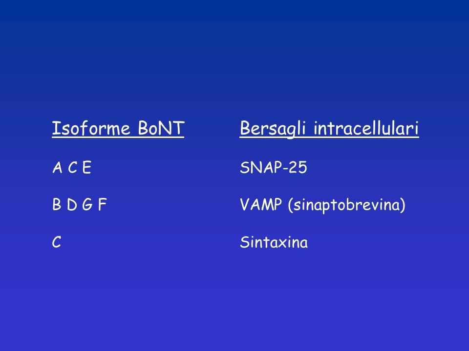 Isoforme BoNTBersagli intracellulari A C ESNAP-25 B D G FVAMP (sinaptobrevina) CSintaxina