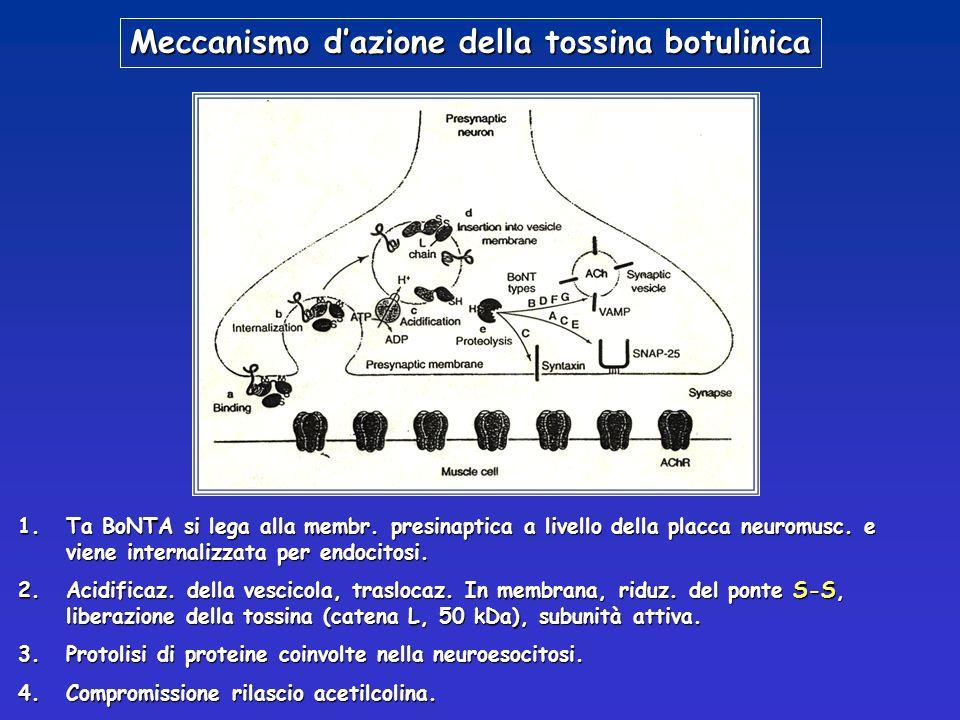 Meccanismo dazione della tossina botulinica 1.Ta BoNTA si lega alla membr. presinaptica a livello della placca neuromusc. e viene internalizzata per e