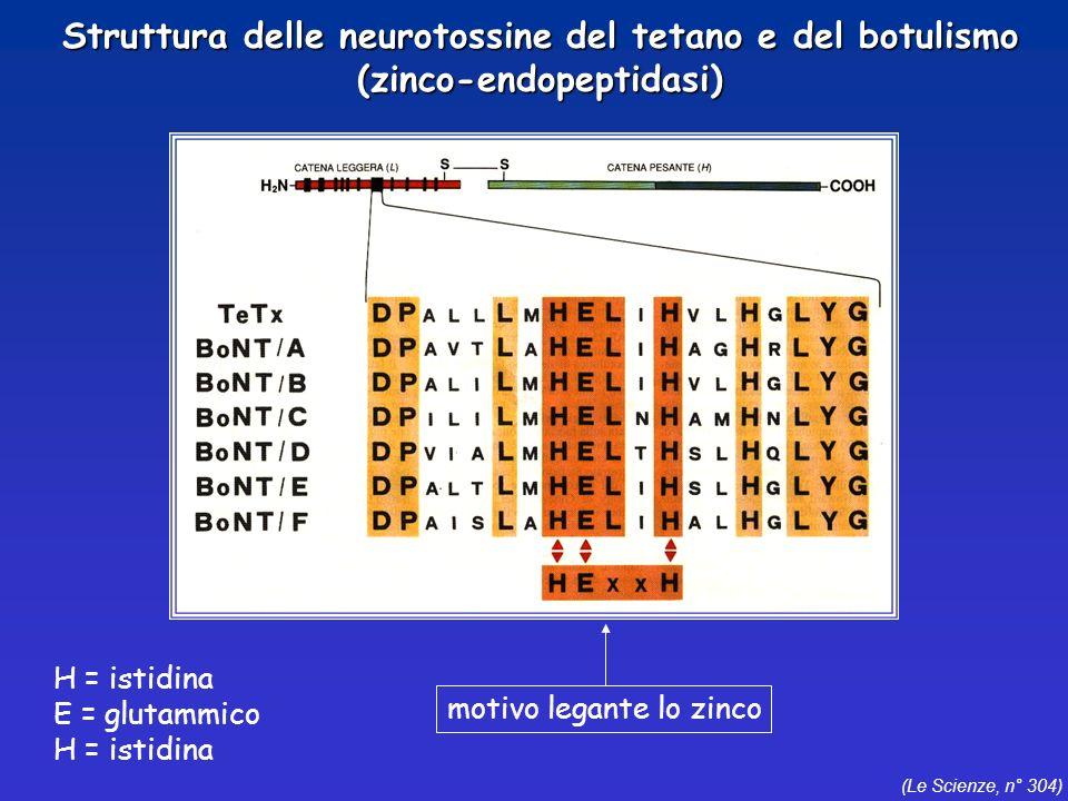 (Le Scienze, n° 304) H = istidina E = glutammico H = istidina motivo legante lo zinco Struttura delle neurotossine del tetano e del botulismo (zinco-e