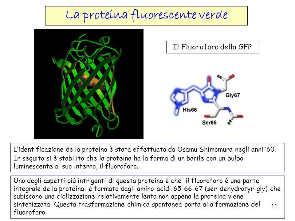 11 Lidentificazione della proteina è stata effettuata da Osamu Shimomura negli anni 60. In seguito si è stabilito che la proteina ha la forma di un ba