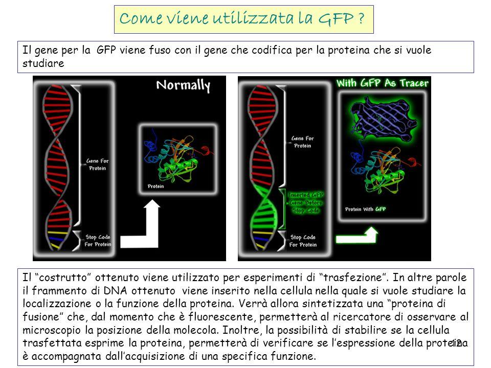 12 Il gene per la GFP viene fuso con il gene che codifica per la proteina che si vuole studiare Il costrutto ottenuto viene utilizzato per esperimenti