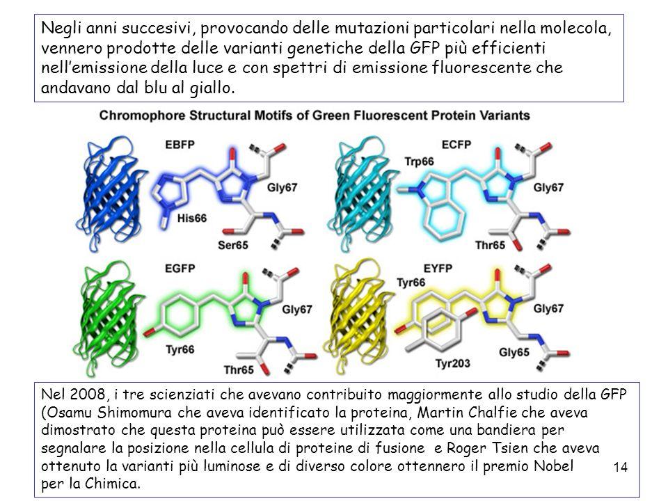14 Negli anni succesivi, provocando delle mutazioni particolari nella molecola, vennero prodotte delle varianti genetiche della GFP più efficienti nel