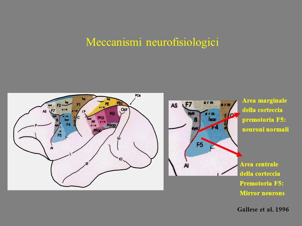 Meccanismi neurofisiologici Area marginale della corteccia premotoria F5: neuroni normali Area centrale della corteccia Premotoria F5: Mirror neurons