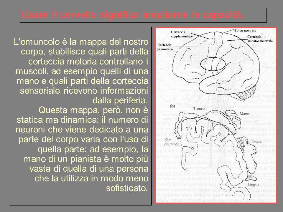 L'omuncolo è la mappa del nostro corpo, stabilisce quali parti della corteccia motoria controllano i muscoli, ad esempio quelli di una mano e quali pa