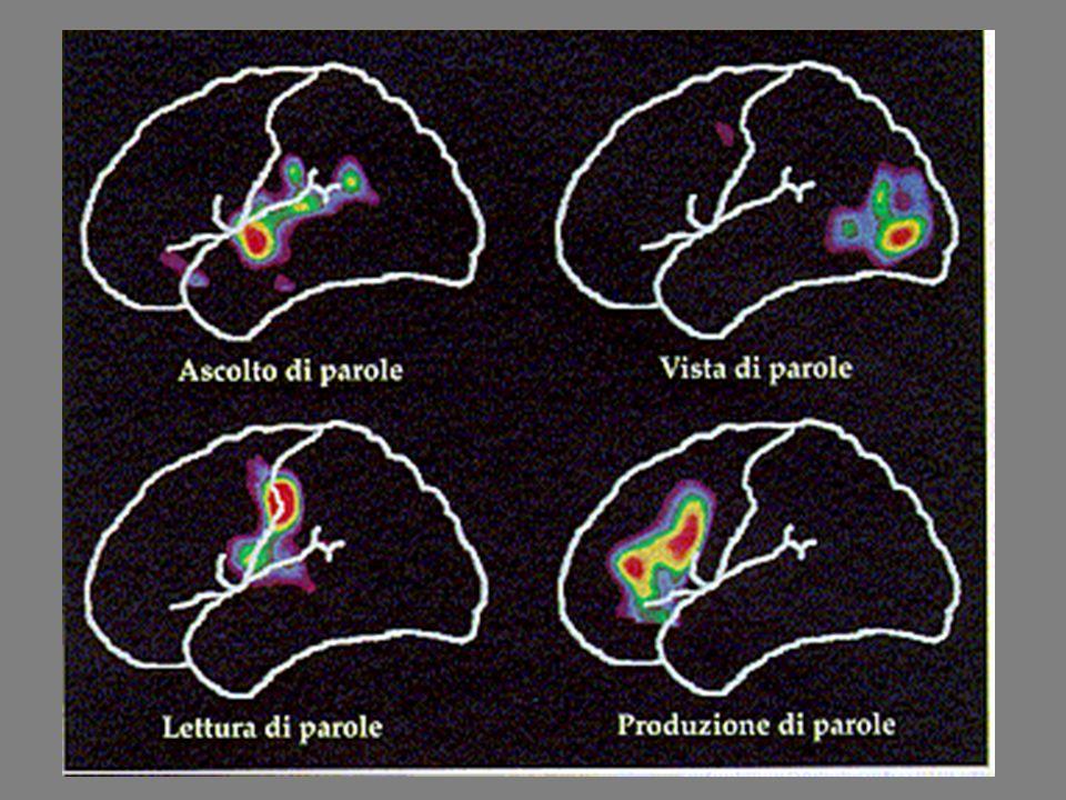 L omuncolo è la mappa del nostro corpo, stabilisce quali parti della corteccia motoria controllano i muscoli, ad esempio quelli di una mano e quali parti della corteccia sensoriale ricevono informazioni dalla periferia.