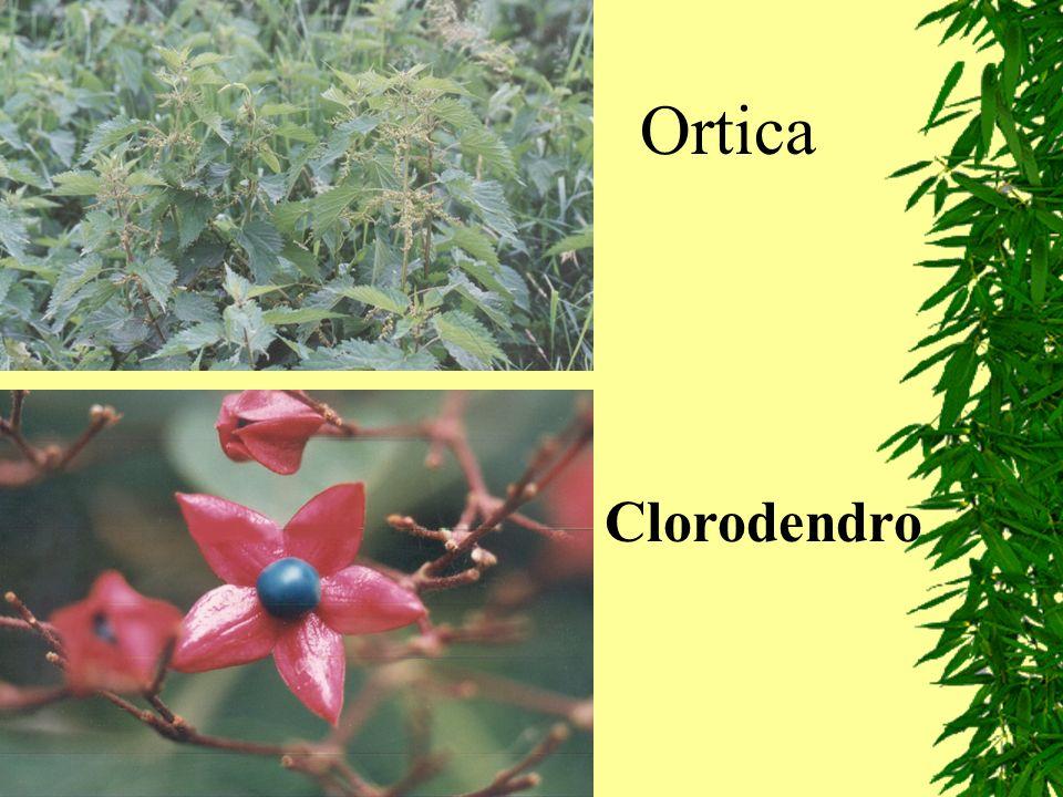Ortica Clorodendro