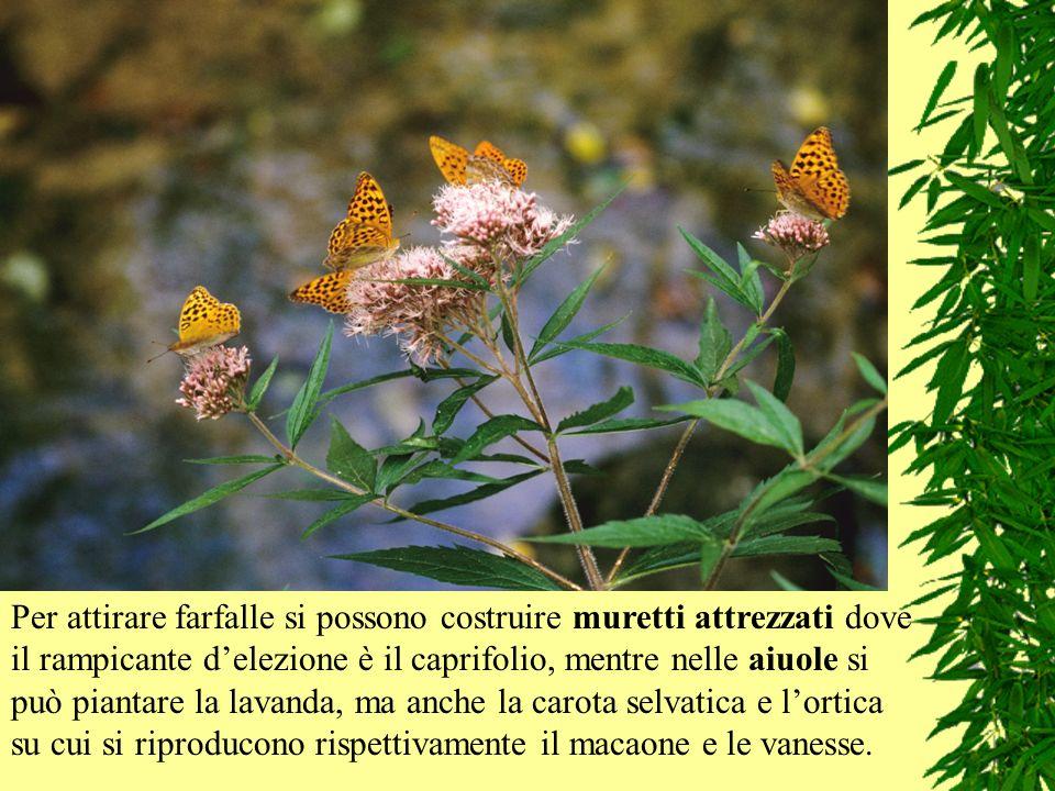 Per attirare farfalle si possono costruire muretti attrezzati dove il rampicante delezione è il caprifolio, mentre nelle aiuole si può piantare la lav