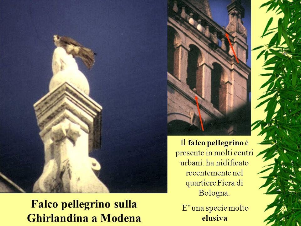Il falco pellegrino è presente in molti centri urbani: ha nidificato recentemente nel quartiere Fiera di Bologna. E una specie molto elusiva Falco pel