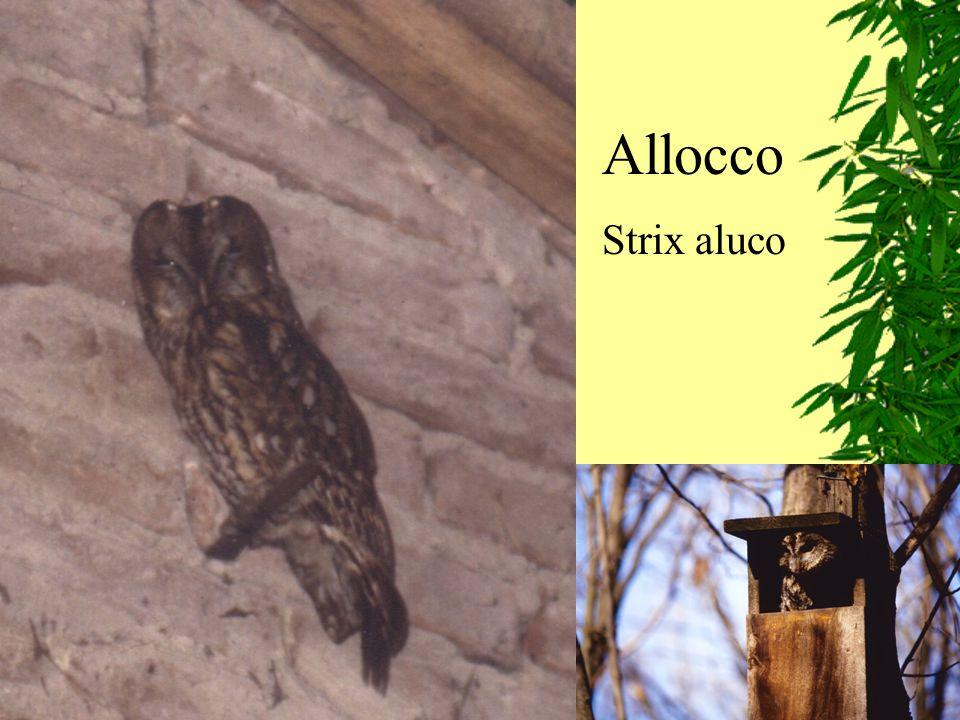 Allocco Strix aluco
