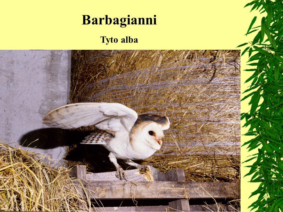 Barbagianni Tyto alba