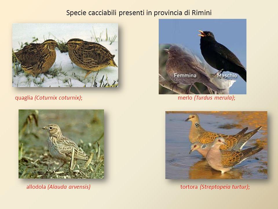 quaglia (Coturnix coturnix); merlo (Turdus merula); allodola (Alauda arvensis) tortora (Streptopeia turtur); Specie cacciabili presenti in provincia d