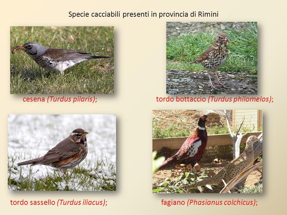 Specie cacciabili presenti in provincia di Rimini cesena (Turdus pilaris); tordo bottaccio (Turdus philomelos); tordo sassello (Turdus iliacus); fagia