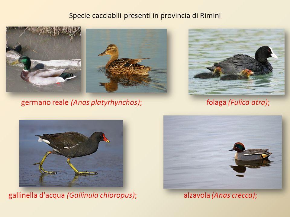 Specie cacciabili presenti in provincia di Rimini germano reale (Anas platyrhynchos); folaga (Fulica atra); gallinella d'acqua (Gallinula chloropus);