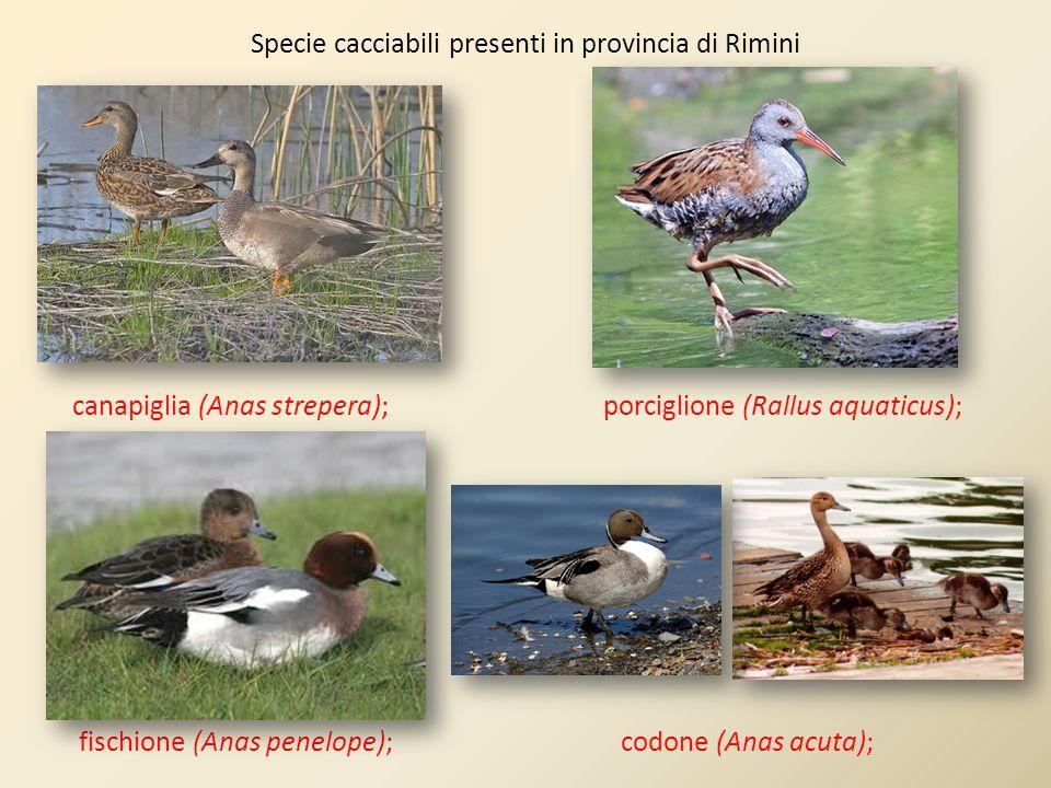Specie cacciabili presenti in provincia di Rimini canapiglia (Anas strepera); porciglione (Rallus aquaticus); fischione (Anas penelope); codone (Anas