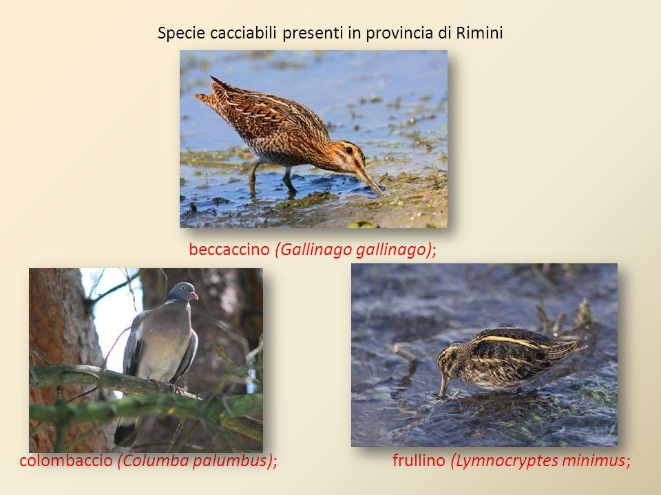 Specie cacciabili presenti in provincia di Rimini beccaccino (Gallinago gallinago); colombaccio (Columba palumbus); frullino (Lymnocryptes minimus;
