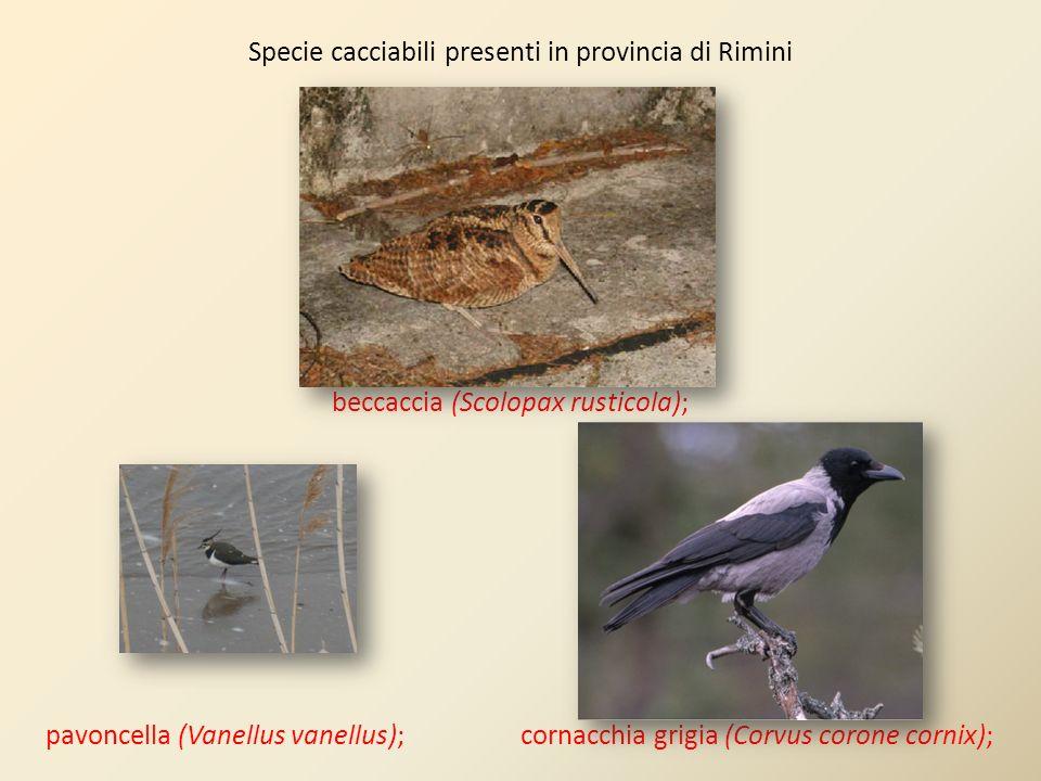 Specie cacciabili presenti in provincia di Rimini beccaccia (Scolopax rusticola); pavoncella (Vanellus vanellus); cornacchia grigia (Corvus corone cor