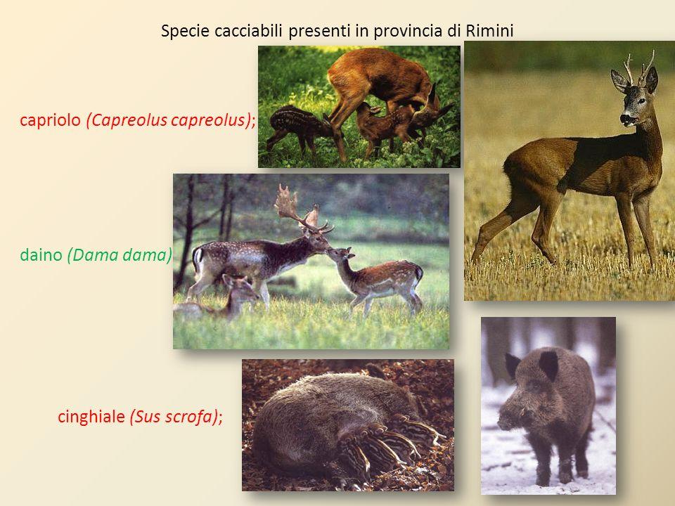 Specie cacciabili presenti in provincia di Rimini capriolo (Capreolus capreolus); daino (Dama dama); cinghiale (Sus scrofa);